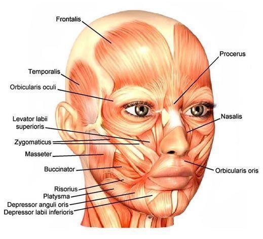 Muskeln im Gesicht